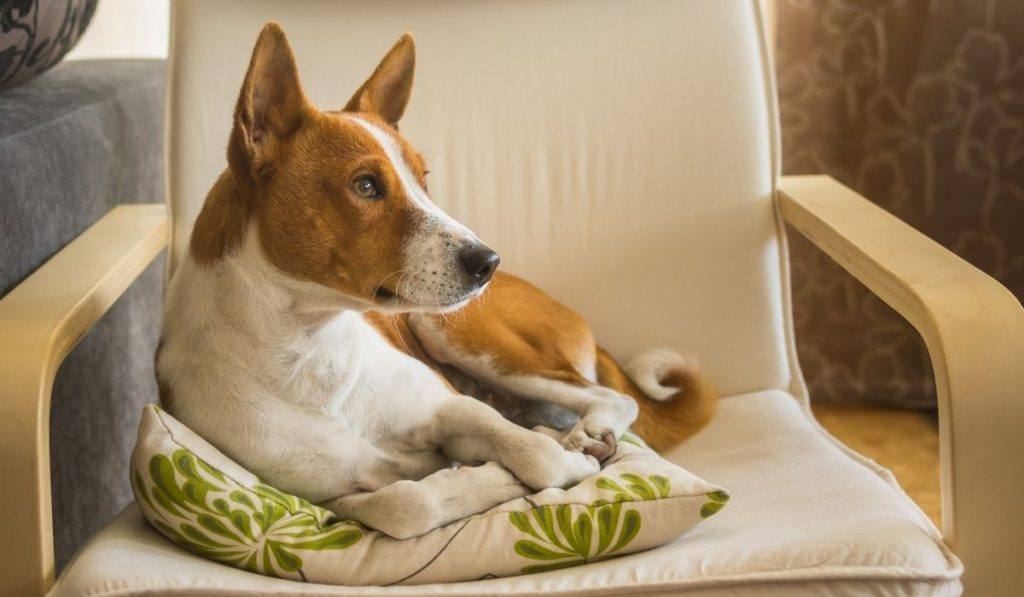 basenji sitting on a pillow on top of a chair
