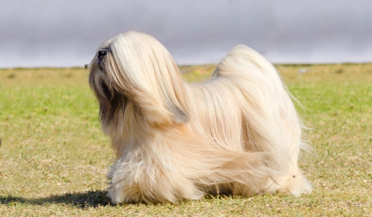 lhasa-apso-on-a-field