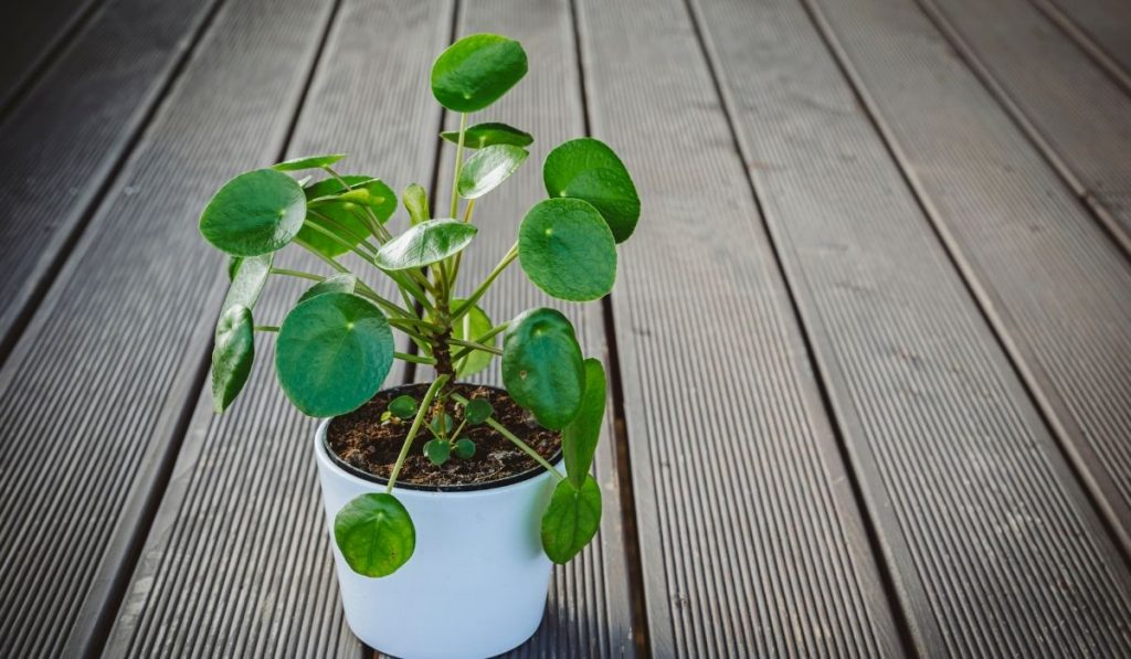 Pilea peperomioides in a white pot