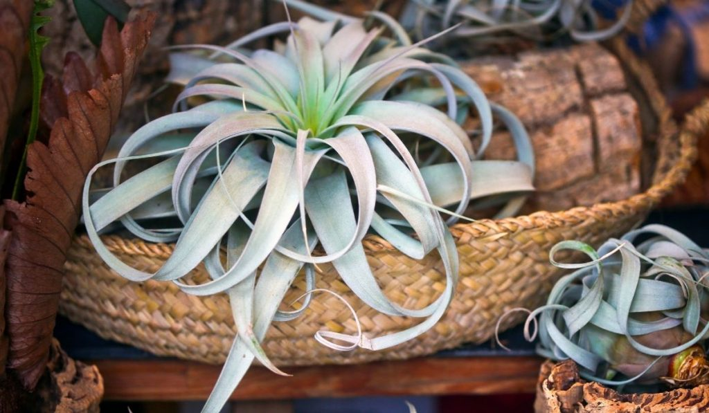 air plant in a woven basket