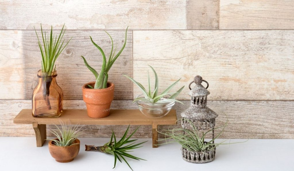 air plants in different pots