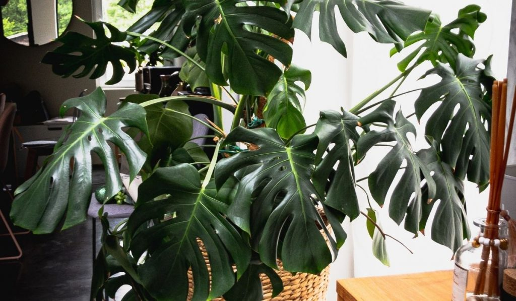 big monstera plant inside the house