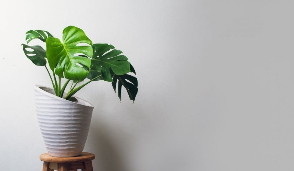 monstera plant in a off-white cement pot