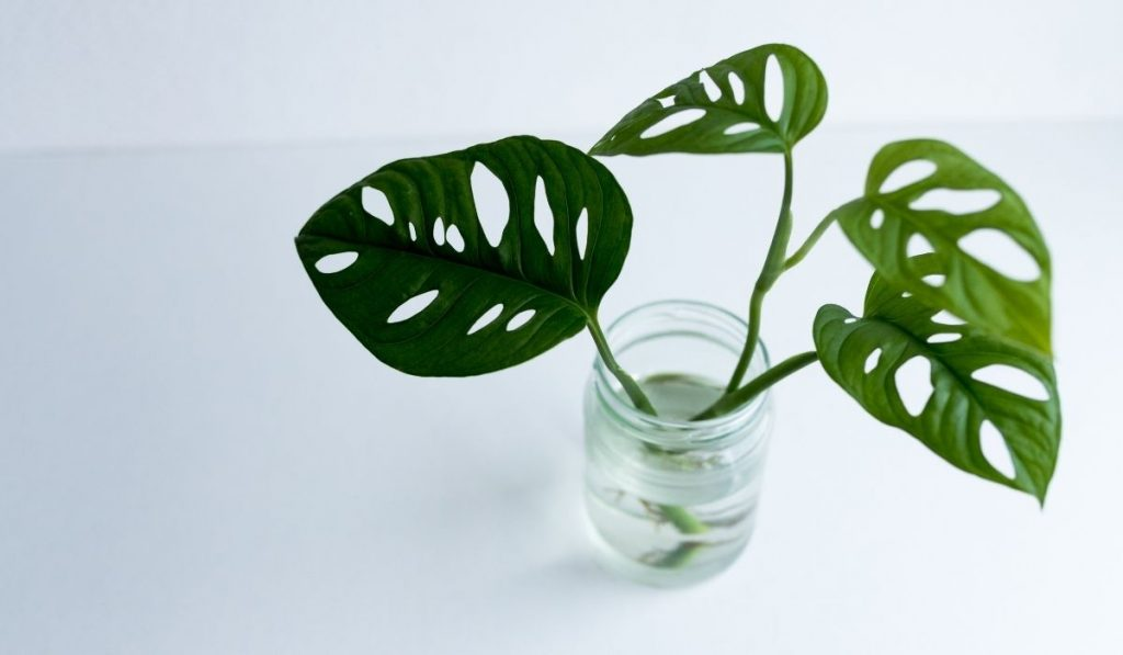 monstera plant in water