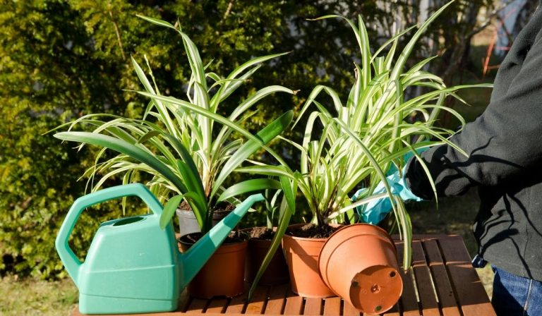 How to Repot a Spider Plant and 9 Reasons Why You Should?