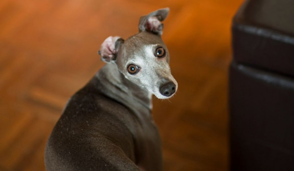 Greyhounds in Apartment