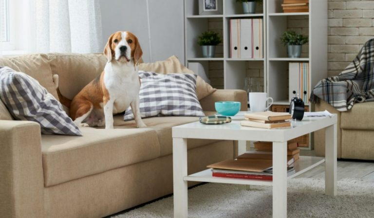 Are Beagles Good Apartment Dogs?