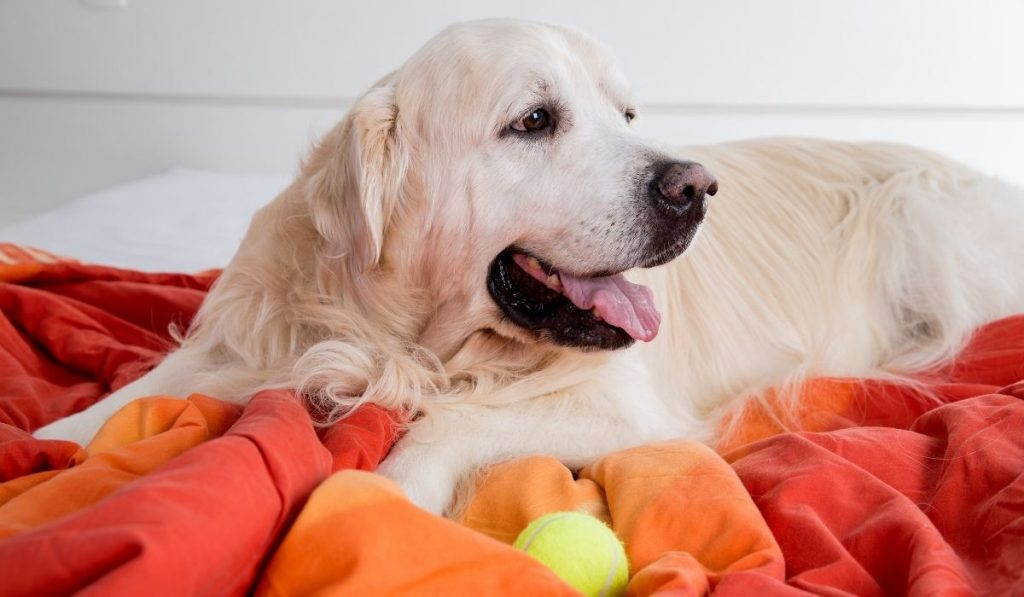 golden retriever on blanket with toy