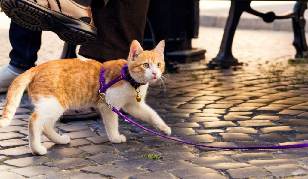 walking cat with leash