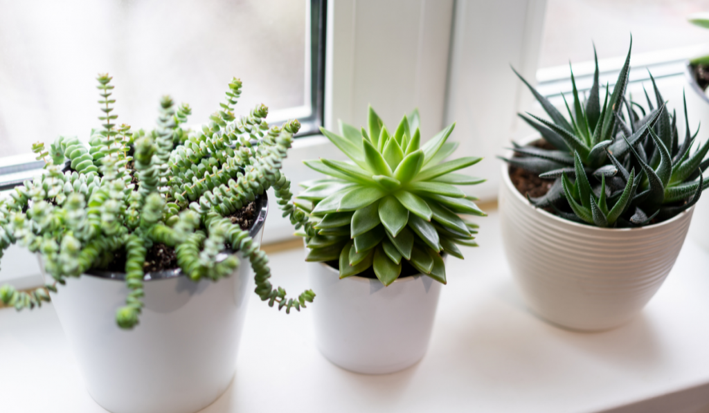Three green succulents in white pots